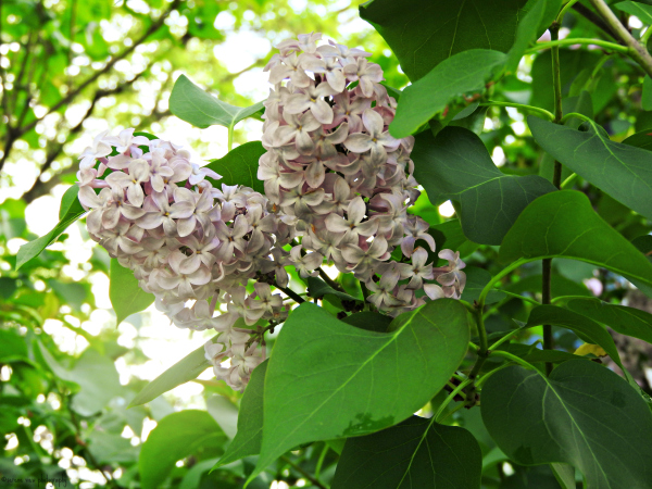 Lilacs In Full Bloom I
