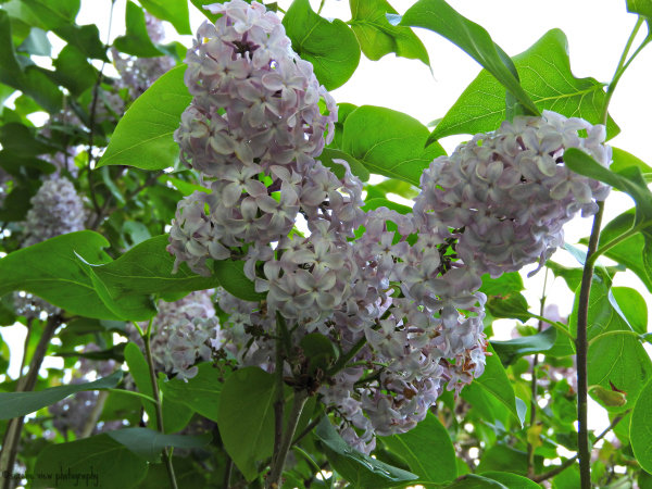 Lilacs In Full Bloom IV